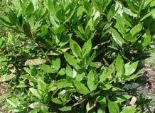 Значення лавра для різних народів в різні часи - лаврові дерева на Ваш Сад