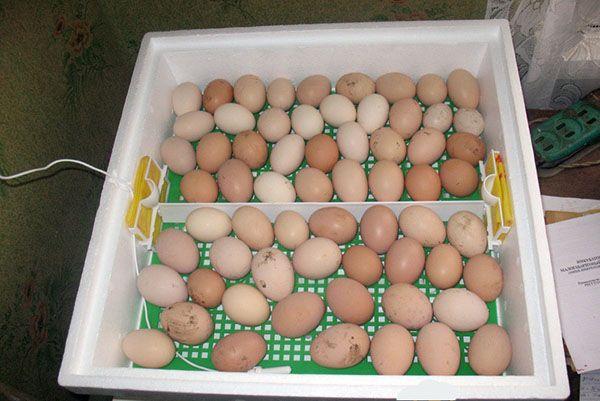 Значення показання температури в інкубаторі для інкубації курячих яєць