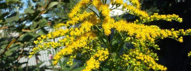 Золотарник (солидаго: опис, розмноження, догляд, посадка, застосування в саду, фото, сорти і види