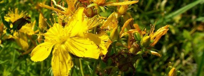 Звіробій: опис, розмноження, догляд, посадка, застосування в саду, фото, сорти і види