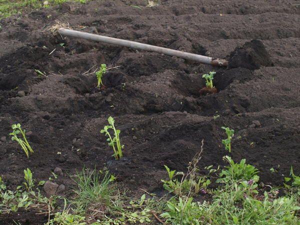 посадка підріс картоплі