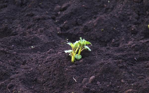 картопля посаджений